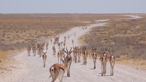 Springbok-Gacela-Antílope-Caminar-Por-Un-Camino-De-Tierra-Y-Cruzando-La-Sabana-Africana-En-El-Parque-Nacional-De-Etosha-Namibia-1