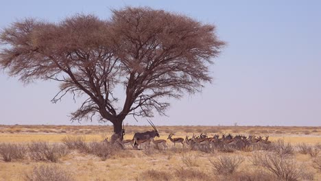 Springbok-gazelle-antelope-sit-in-the-shade-under-a-tree-in-the-dry-hot-drought-stricken-desert-in-Etosha-National-Park-Namibia