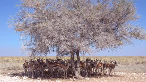 Springbok-gazelle-antelope-sit-in-the-shade-under-a-tree-in-the-dry-hot-drought-stricken-desert-in-Etosha-National-Park-Namibia-1