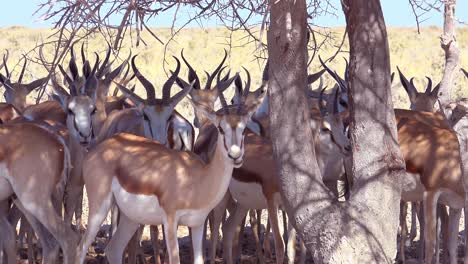 Springbok-gazelle-antelope-sit-in-the-shade-under-a-tree-in-the-dry-hot-drought-stricken-desert-in-Etosha-National-Park-Namibia-2