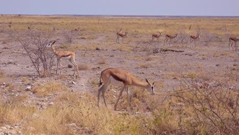 Springbok-gazelle-antelope-walk-across-the-African-savannah-in-Etosha-National-Park-Namibia