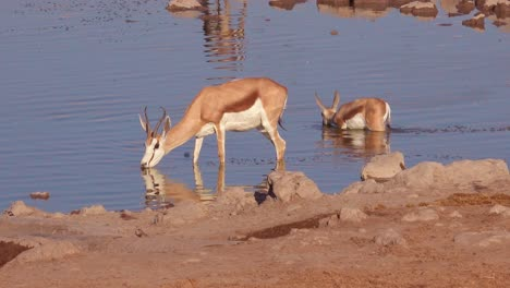 Springbok-gazelle-antelope-drink-at-a-watering-hole-in-Etosha-National-Park-Namibia