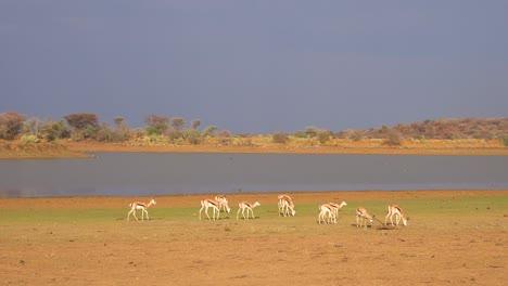 Springbok-gazelle-antelope-walk-near-a-watering-hole-in-Erindi-Park-Namibia
