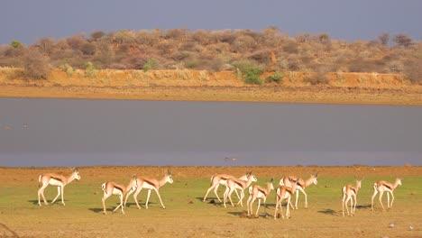 Springbok-gazelle-antelope-walk-near-a-watering-hole-in-Erindi-Park-Namibia-1