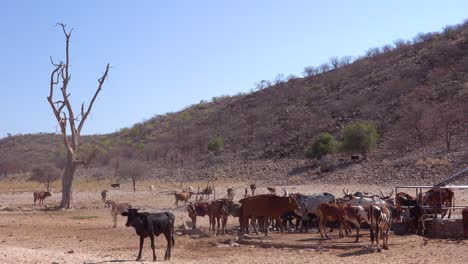 Livestock-and-cattle-cows-graze-in-the-remote-deserts-of-Namibia-Africa