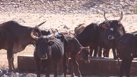 Livestock-and-cattle-cows-graze-at-a-watering-hole-in-Damaraland-region-of-Namibia-Africa