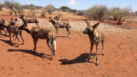Los-Perros-Salvajes-Africanos-Raros-Y-En-Peligro-De-Extinción-Deambulan-Por-La-Sabana-En-Namibia-África