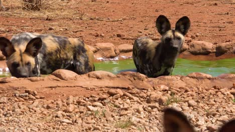 Rare-and-endangered-African-wild-dogs-roam-the-savannah-in-Namibia-Africa-1
