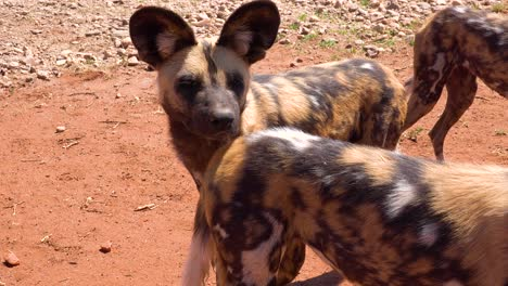 Rare-and-endangered-African-wild-dogs-roam-the-savannah-in-Namibia-Africa-2
