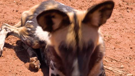 Rare-and-endangered-African-wild-dogs-roam-the-savannah-in-Namibia-Africa-3