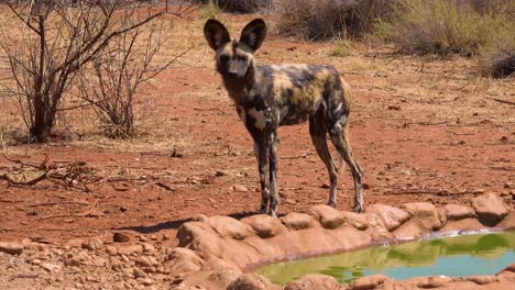 Rare-and-endangered-African-wild-dogs-roam-the-savannah-in-Namibia-Africa-5