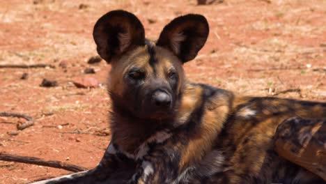 Perros-Salvajes-Africanos-Raros-Y-En-Peligro-De-Extinción-Con-Orejas-Enormes-Deambulan-Por-La-Sabana-En-Namibia-África