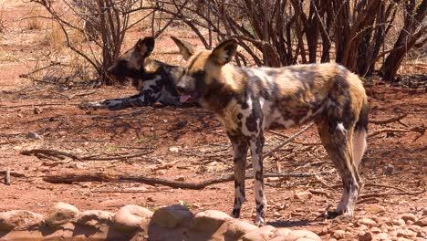 Perros-Salvajes-Africanos-Raros-Y-En-Peligro-De-Extinción-Con-Orejas-Enormes-Deambulan-Por-La-Sabana-En-Namibia-África-1