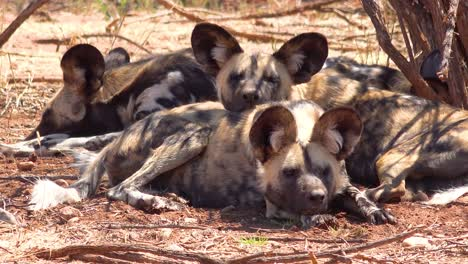 Rare-and-endangered-African-wild-dogs-with-huge-ears-roam-the-savannah-in-Namibia-Africa-2
