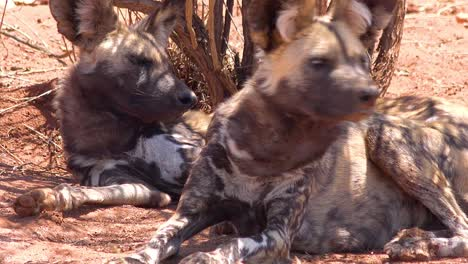 Rare-and-endangered-African-wild-dogs-with-huge-ears-lie-in-the-shade-on-the-savannah-in-Namibia-Africa