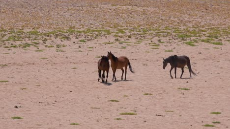 Wild-and-endangered-horses-walk-across-the-Namib-Desert-in-Namibia-Africa