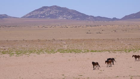 Wild-and-endangered-horses-walk-across-the-Namib-Desert-in-Namibia-Africa-1