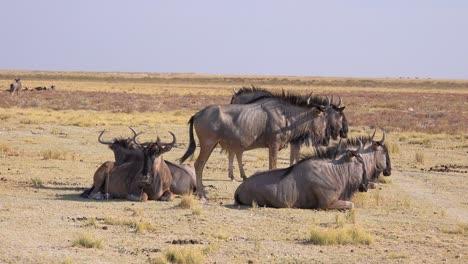 Wildebeest-sit-on-the-savannah-of-Africa-in-Etosha-National-park-Namibia