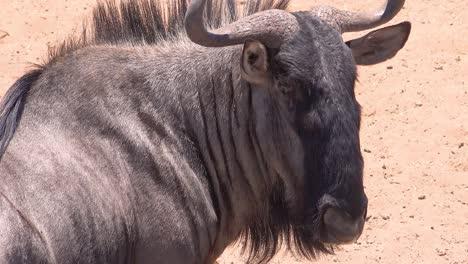 Perfil-De-Un-ñu-En-La-Sabana-De-África-En-El-Parque-Nacional-De-Etosha-Namibia