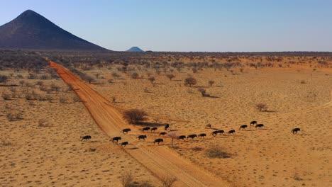 Drone-aerial-of-black-wildebeest-running-on-the-plains-of-Africa-Namib-desert-Namibia