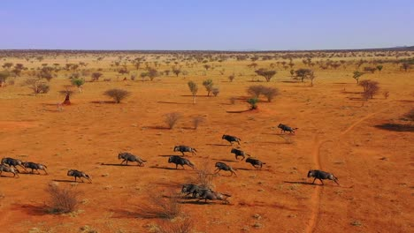 Excellent-drone-aerial-of-black-wildebeest-running-on-the-plains-of-Africa-Namib-desert-Namibia-3