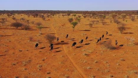 Excelente-Antena-Drone-De-ñu-Negro-Corriendo-En-Las-Llanuras-De-África-Desierto-De-Namib-Namibia-4