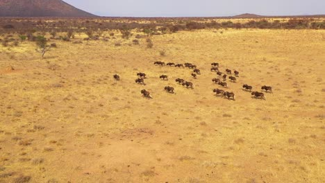 Excellent-drone-aerial-of-black-wildebeest-running-on-the-plains-of-Africa-Namib-desert-Namibia-5