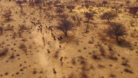 Excellent-drone-aerial-of-black-wildebeest-running-on-the-plains-of-Africa-Namib-desert-Namibia-6