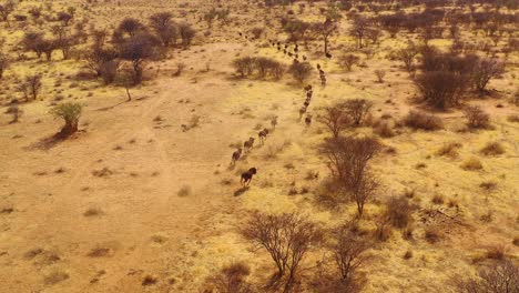 Excellent-drone-aerial-of-black-wildebeest-running-on-the-plains-of-Africa-Namib-desert-Namibia-7