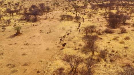Excelente-Antena-De-Drone-De-ñu-Negro-Corriendo-En-Las-Llanuras-De-África-Desierto-De-Namib-Namibia-7