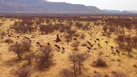 Excellent-drone-aerial-of-black-wildebeest-running-on-the-plains-of-Africa-Namib-desert-Namibia-8