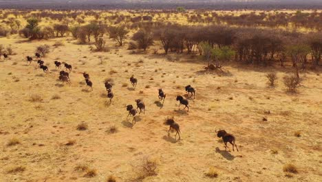 Excellent-drone-aerial-of-black-wildebeest-running-on-the-plains-of-Africa-Namib-desert-Namibia-9