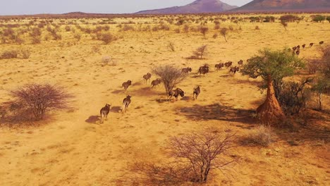 Excellent-drone-aerial-of-black-wildebeest-running-on-the-plains-of-Africa-Namib-desert-Namibia-10