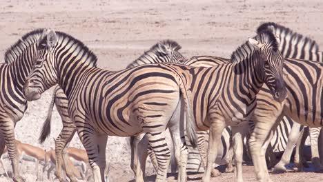 Zebras-get-frisky-on-the-plains-of-Etosha-National-Park-Namibia-Africa