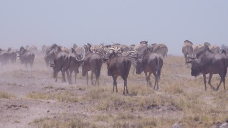 Zebras-and-wildebeest-make-their-way-across-the-dry-dusty-desert-plains-of-Etosha-National-Park-Namibia-Africa