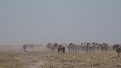 Zebras-and-wildebeest-make-their-way-across-the-dry-dusty-desert-plains-of-Etosha-National-Park-Namibia-Africa-2