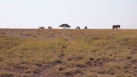 Beautiful-distant-shot-of-a-zebra-walking-through-Etosha-National-Park-Namibia-with-safari-vehicles-observing-in-the-distance