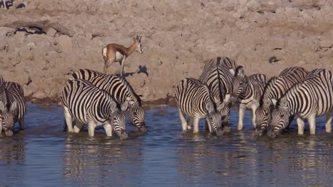 Zebras-wildebeest-and-sprinkbok-antelope-drink-from-a-watering-hole-at-Etosha-National-Park-namibia-Africa-1