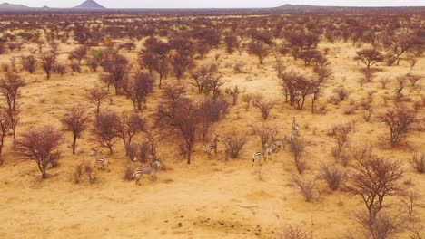 Excellent-wildlife-aerial-of-zebras-running-on-the-plains-of-Africa-Erindi-Park-Namibia