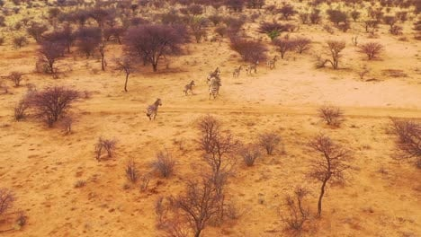 Excellent-wildlife-aerial-of-zebras-running-on-the-plains-of-Africa-Erindi-Park-Namibia-1