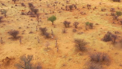 Excellent-wildlife-aerial-of-zebras-running-on-the-plains-of-Africa-Erindi-Park-Namibia-3