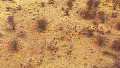 Excellent-wildlife-aerial-of-zebras-running-on-the-plains-of-Africa-Erindi-Park-Namibia-4