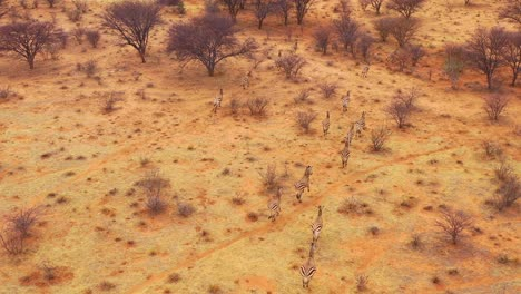 Excellent-wildlife-aerial-of-zebras-running-on-the-plains-of-Africa-Erindi-Park-Namibia-5