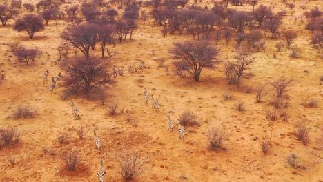 Excellent-wildlife-aerial-of-zebras-running-on-the-plains-of-Africa-Erindi-Park-Namibia-6