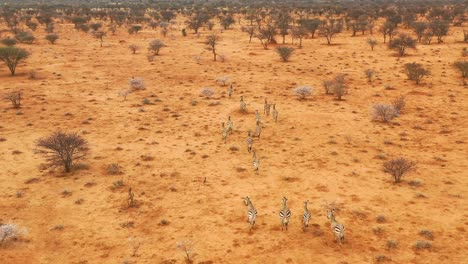 Excellent-wildlife-aerial-of-zebras-running-on-the-plains-of-Africa-Erindi-Park-Namibia-7