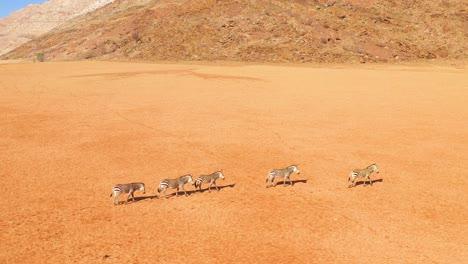 Excellent-wildlife-aerial-of-zebras-walking-in-the-Namib-desert-of-Africa-Namibia