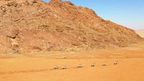 Excellent-wildlife-aerial-of-zebras-running-in-the-Namib-desert-of-Africa-Namibia-3