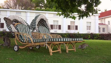 Vervet-monkeys-play-on-lawn-furniture-on-the-grounds-of-the-elegant-and-luxurious-Victoria-Falls-Hotel