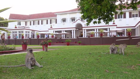 Vervet-monkeys-play-on-the-grounds-of-the-elegant-and-luxurious-Victoria-Falls-Hotel