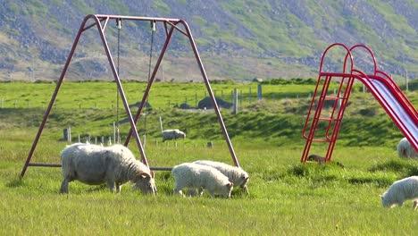 Sheep-walk-through-a-children-s-playground-in-Iceland